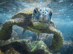 Curious honu, Turtle, scott hareland