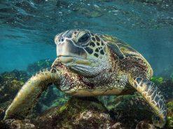 Eye to Eye Turtle Photo by Scott Hareland