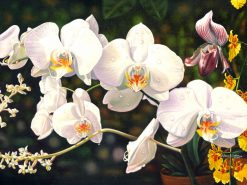 White Butterfly Orchids