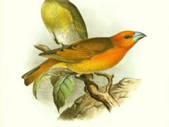 Greater Koa Finch
