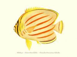 Kikakapu (Ornate Butterflyfish)