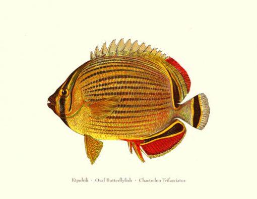 Kipuhili (Oval Butterflyfish)