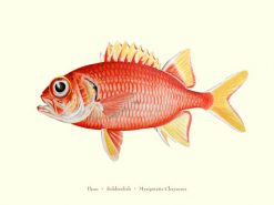 Pauu (Soldierfish)